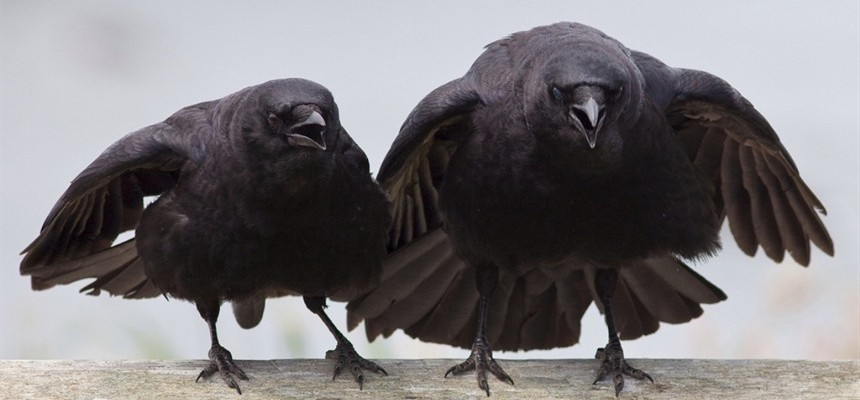 What Does A Black Crow Have To Do With The Movie Tomorrowland?