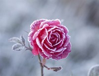 A Blossom in Winter: A Poem
