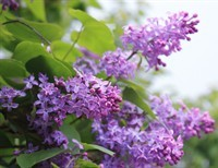 Lessons from a Lilac