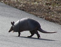 Are You Smarter than an Armadillo?